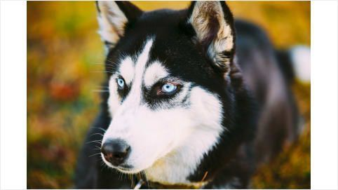 Siberian Husky Owners Know And Love These Things About Their Dogs