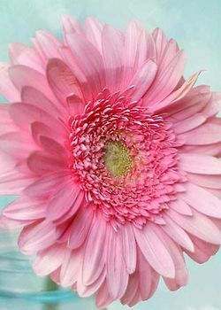 flowersgardenlove:  Pink Daisy Beautiful gorgeous pretty flowers
