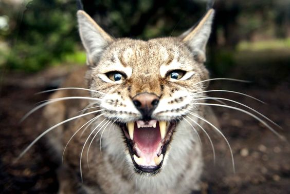 Un lynx boréal ou lynx d'Eurasie au zoo d'Amnéville en France.