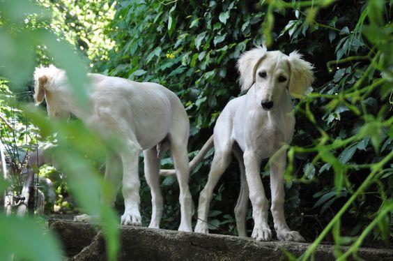 Der kleine Salukirüde Ximun sucht ein... (Heinsberg, Rheinland) - VDH Saluki (Persischer Windhund) - dhd24.com