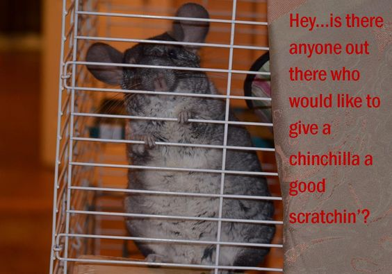 Our Chinchilla Roo is always looking for a soul willing to give her some chin scratches!