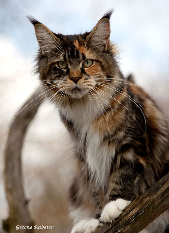 Maine Coon, Black Torti Tabby Blotched & White (f 09 22 ...  Maine Coon, Bla...