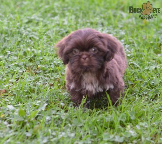 Nancy Shih Tzu Puppy For Sale In Fresno Oh Buckeye Puppies Shihtzu Shih Tzu Puppy Shih Tzu Puppies