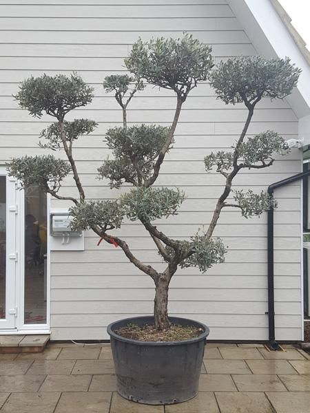 Pom Pom Shaped Topiary Olive Tree Olive Trees For Sale Olive Tree Pruning Olive Trees