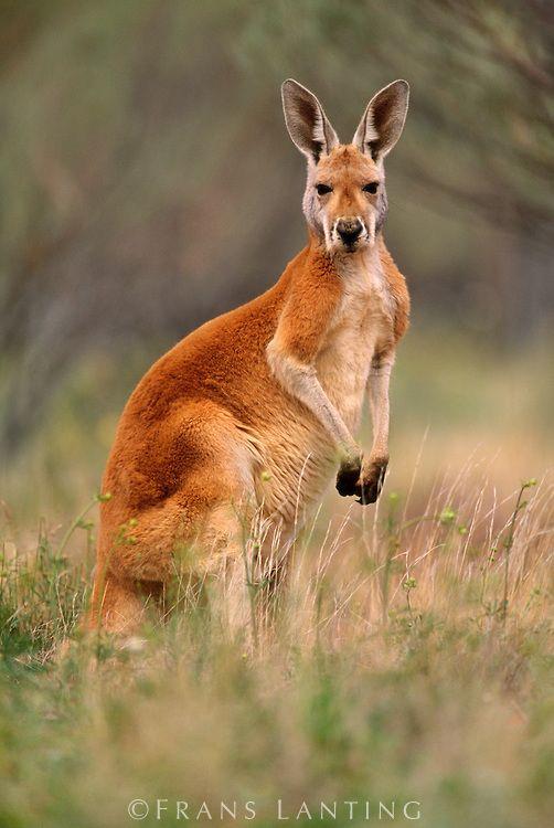 Red kangaroo, Macropus rufus, Finke Gorge National Park, Australia