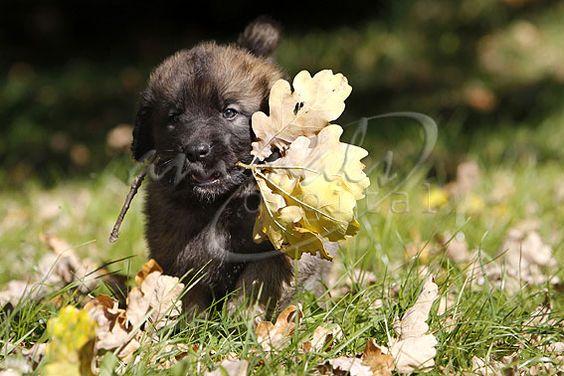 Leonberger - Bild: a-d2011_1567 - animals-digital.de