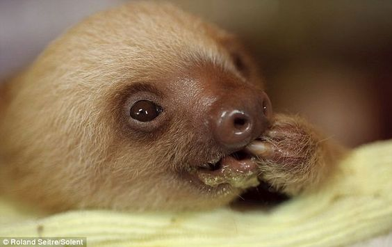 Baby sloth...seriously cute.