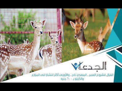 الغزال مشروع العمر المصري نادر والأوربى أكثر انتشارا فى المزارع والكيلو بـ ٦٠٠ جنيه Youtube Animals Cairo Kangaroo