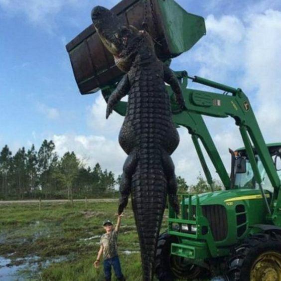 Caçador se surpreende com jacaré gigante que atacava gado - BBC Brasil