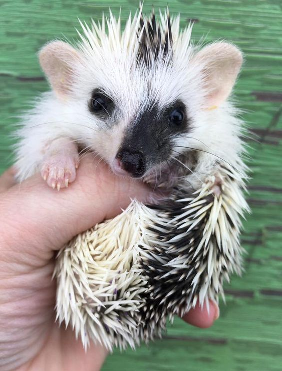 Exquisite colours on this little African Pygmy Hedgehog.