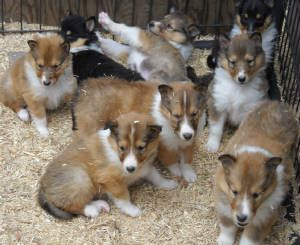 Stirling collies