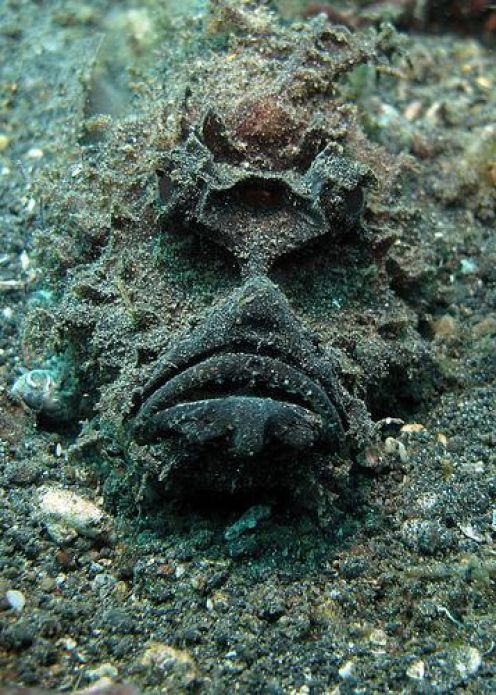 Stone Fish - Synanceia is a genus of fish of the family Synanceiidae, the Stonefishes, whose members are venomous, dangerous, and even fatal to humans. It is one of the most venomous fishes currently known in the world. They are found in the coastal regions of Indo-Pacific oceans. They are also found off Florida and in the Caribbean.