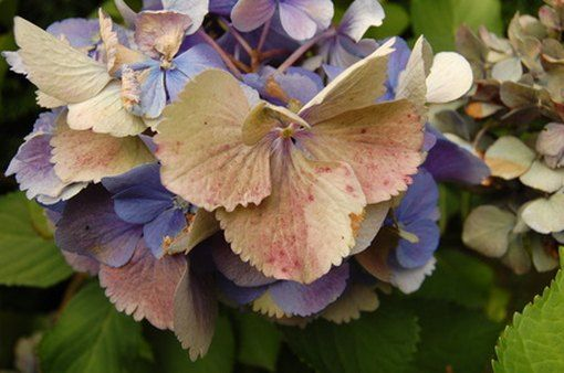 The Causes Of Yellow Leaves And Brown Spots On Hydrangeas Hunker In 2020 Hydrangea Not Blooming Hydrangea Colors Planting Hydrangeas