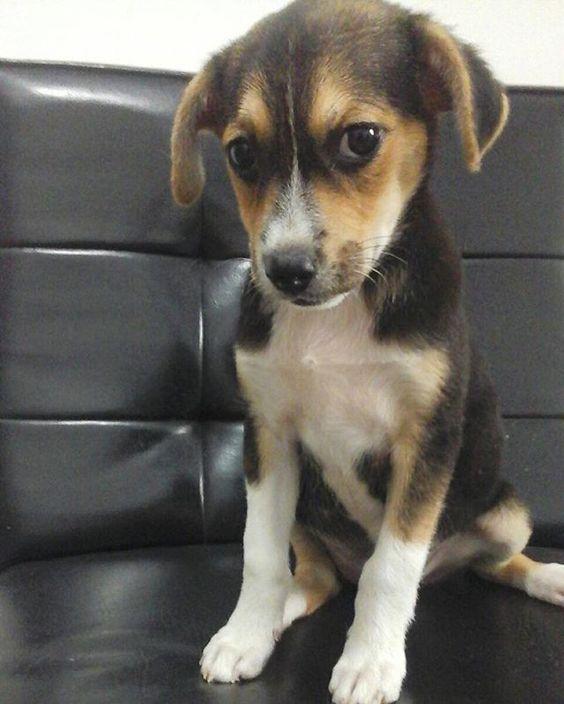 Princesita cruce con beagle en adopción, el adoptante debe diligenciar acta de adopción, vacunación y esterilización, contacto (320) 606-5980 #cali #adopta #perros