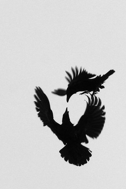 """Raven's Dogfight""  by ThorgnyrD  here's what he says:  ""I was watching a flock of ravens that hovered over the new Cultural House in Akureyri. They had small fights over leftovers, icescreamboxes and some other stuff. I tried to catch some of their acrobatics in the air with my camera. Pretty difficult though aiming the lens straight up to grey sky. Got some rather strange pictures and among them this moment."""