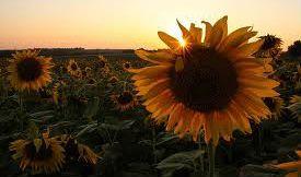 Sunflowers ~ Kansas