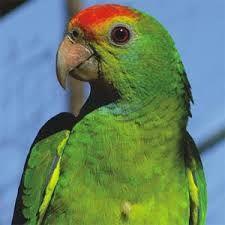 Papagaio-de-coroa-vermelha - Google Search