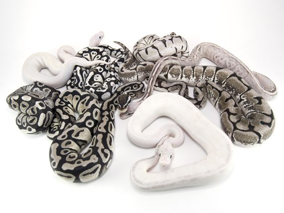super cinnamon pied ball python google search me gusta