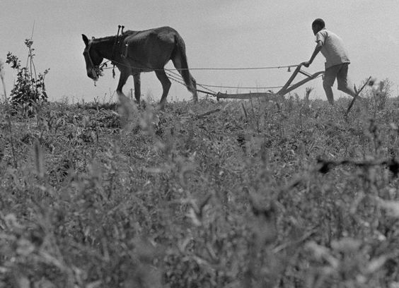 A mule drawn plow is used for the spring plowing on a farm in rural Alabama, 1966.
