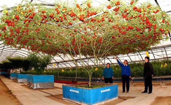 Tomateiros e tomates.  http://www.mundogump.com.br/isso-que-e-produtividade-conheca-arvore-que-esta-dando-mais-de-32-000-tomates-de-uma-so-vez/