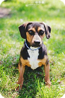 Peachtree City, GA - Beagle Mix. Meet Scout About, a dog for adoption. http://www.adoptapet.com/pet/13073788-peachtree-city-georgia-beagle-mix