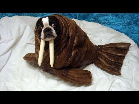 Best Funny And Cute Halloween Costumes For Dog Funny Dogs Videos