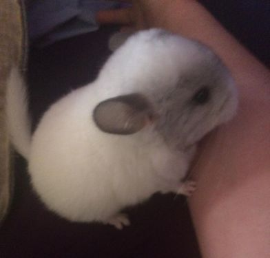 White Chinchillas For Sale