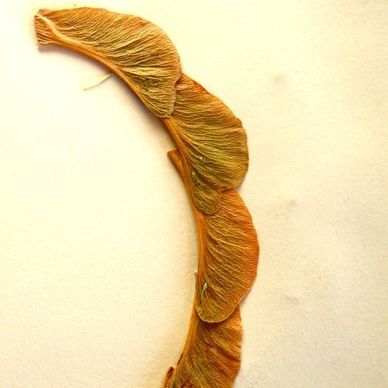 sycamore necklace