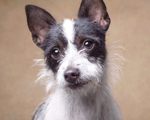 Adopt Mitzy On Dog Adoption Terrier Mix Dogs Jack Russell Terrier