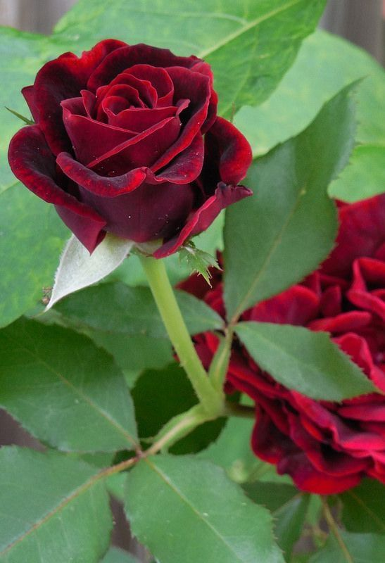 Love The Deep Red Color Of This Particular Rose Wonderful Flowers Beautiful Flowers Amazing Flowers