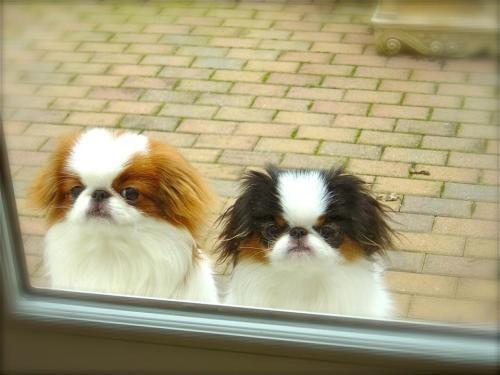 Tumblr Lyy6exemkz1qa1wj2o1 500 Jpg 500 375 ピクセル Japanese Chin Dog Japanese Chin Puppies Japanese Chin