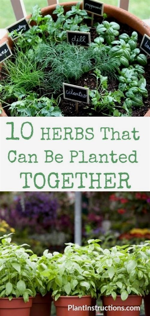 Herbs That Can Be Planted Together Garden Companion Planting Herb Companion Planting Lavender Companion Plants