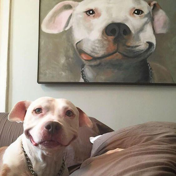 pit bull can't stop smiling 4 (1) #pitbullmemes