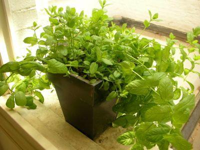 Mint plant, recommended for Boskke sky planter