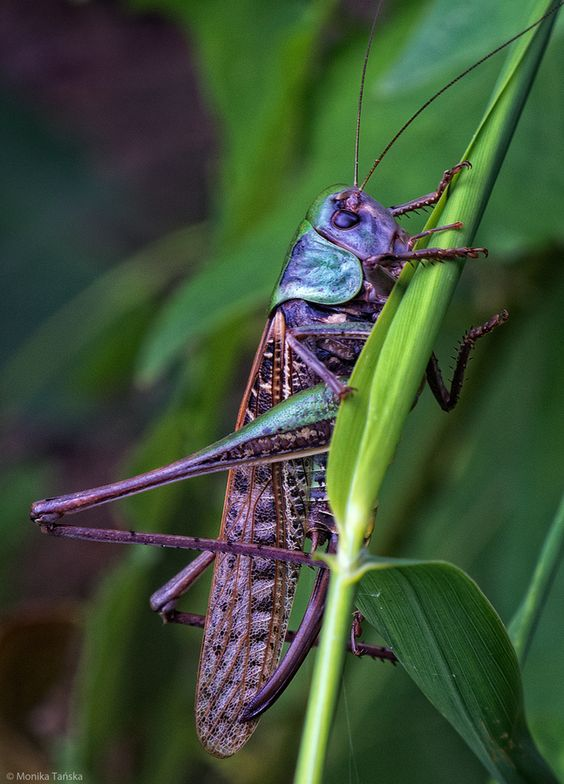 Grasshopper...always jump forward, never backward. Take that leap of faith.  Jumps across space and time. Leaps of faith. Jumping without knowing where you will land. Astral travel.  Leaping over obstacles.  New leaps forward.  Ability to change careers quickly.