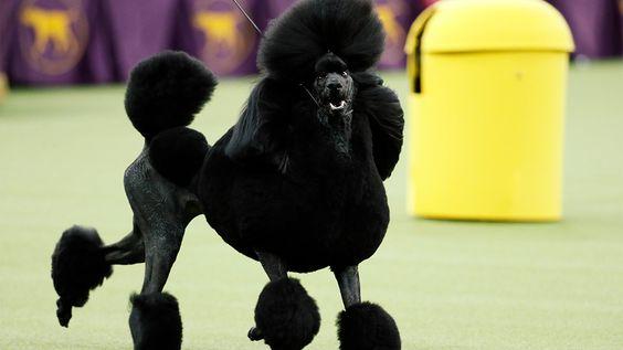 Westminster Dog Show winner, Siba the Poodle, sports wild haircut; groomers explain | 6abc.com