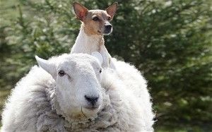 Lamo the sheep who thinks it's a dog, with Judy the Jack Terrier cross