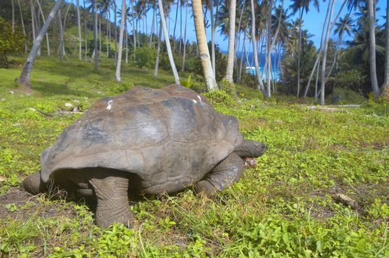 Young and old are delighted as they are welcomed by charismatic Giant Aldabra Tortoises, which roam freely across the wilds of the island