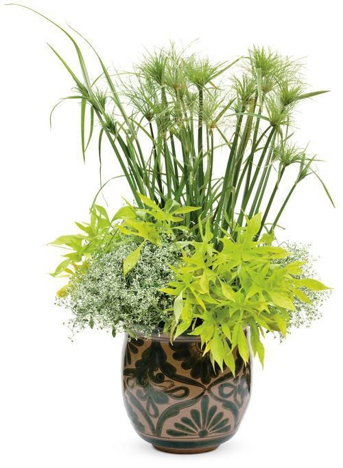 Cyperus papyrus 'King Tut' with Ipomoea batatas 'Emerald Illusion' and Euphorbia graminea 'Diamond Frost'  I like all these plants but I'm not sure I'd put them all into one small pot.