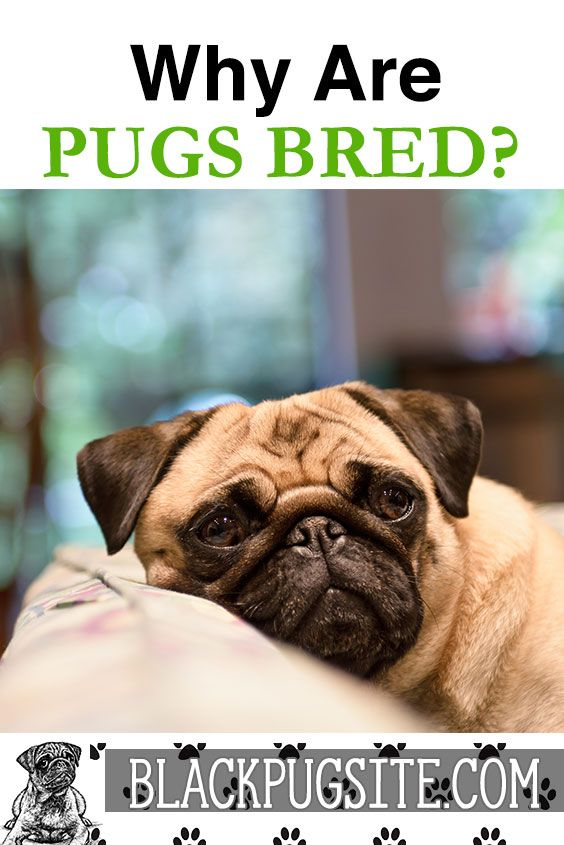 What Are Pugs Bred For Find Out What The Purpose Of Pugs Are And