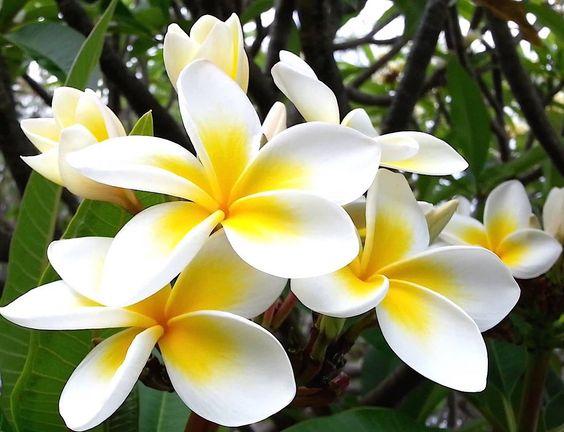 Cara Menanam Bunga Kamboja Dari Biji Dengan Mudah