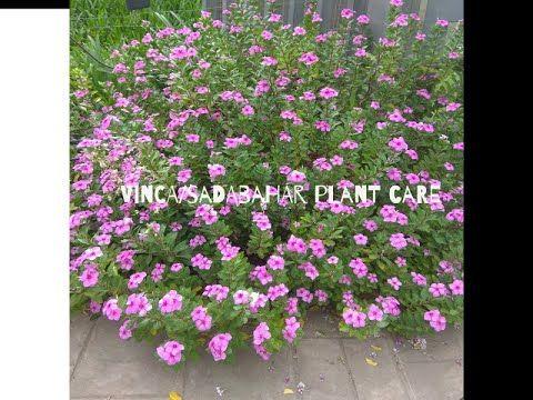 Vinca Plant Care Sadabahar Plant Paudha Jo Baarah Mahine Phool Deta Hae Growtips Youtubechannel20 Youtub In 2020 Fertilizer For Plants Plants Low Maintenance Plants