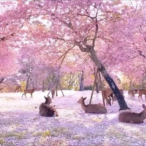 Deers Under Cherry Blossom Trees Natureisfuckinglit Nature Photography Cherry Blossom Japan Beautiful Nature