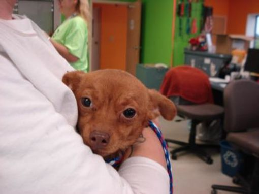 Inverness Fl Cute Found Stray Pup Chihuahua Chiweenie Meet