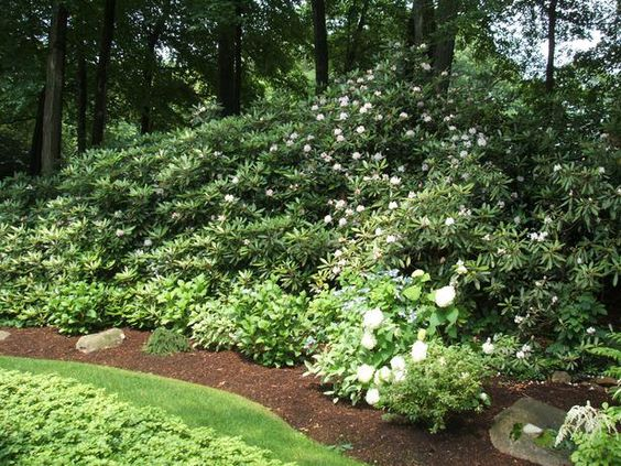 Landscaping With Evergreens And Grasses : Grass or rhododendron quot using a mix of shrubs trees and grasses will