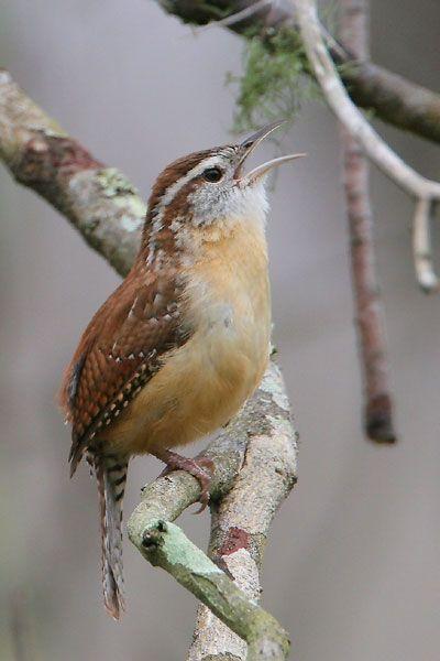 Carolina Wren~ SC State Bird