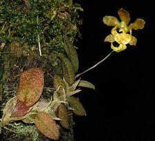 Orquídea psychopsiella limminghei (NFS) orquídeas, Montada (K3)
