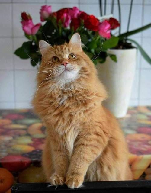 Pin By Carole Kline On Ginger Cats In 2020 Siberian Cat Cute Cats Cats