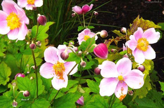Kwiaty, Różowe, Pączki, Liście, Ogród, Lato