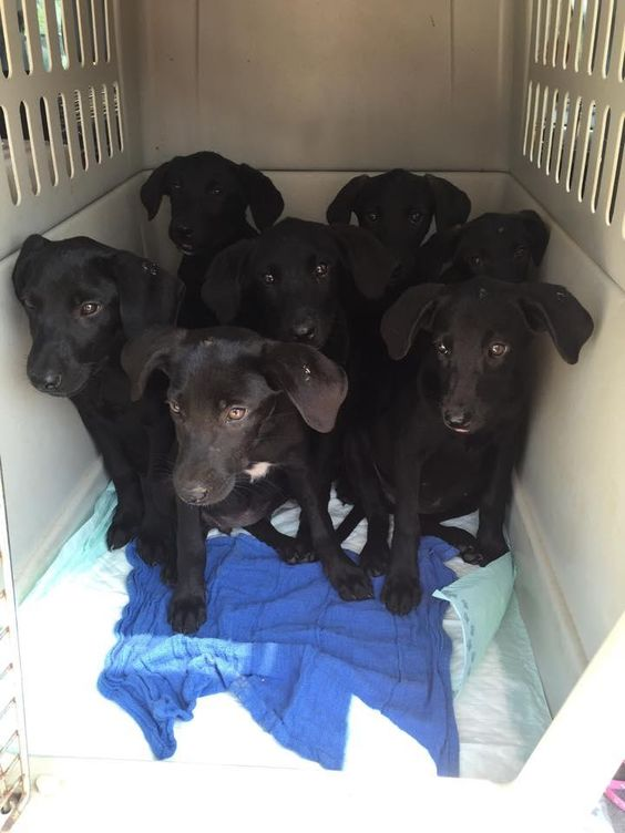 Meet 9 lab puppies foster/adopters needed, a Petfinder adoptable Black Labrador Retriever Dog | Bath, ME | We are 9 black lab mix puppies.  6 of us are girls and 3 are boys.  We were found by the side of...